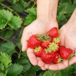 Professeurs d'Histoire et de Géographie, allez aux fraises !