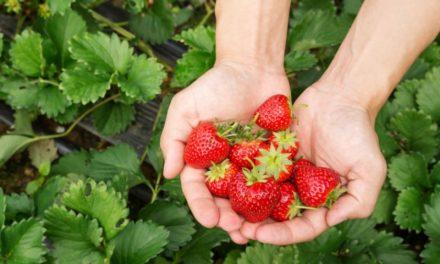 Histoire-géographie Allez aux fraises